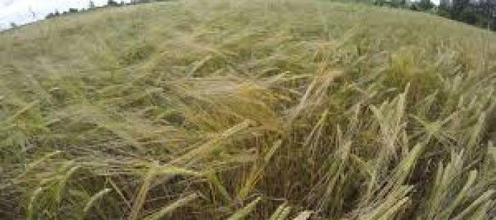 41 Beautiful Photos of Grain Fields